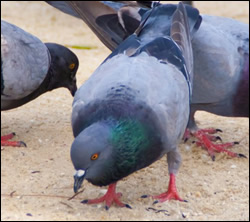 Bird control California