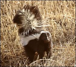 Skunk control California