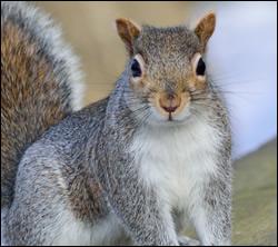 Squirrel control California